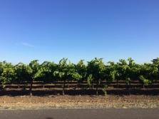 Lodi's vineyards